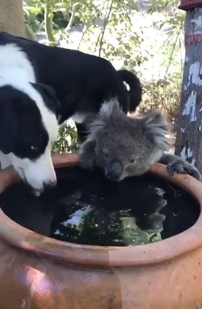 オーストラリアの森林火災で逃げたコアラが地面に降りて犬と一緒に瓶から水をグビグビ飲む