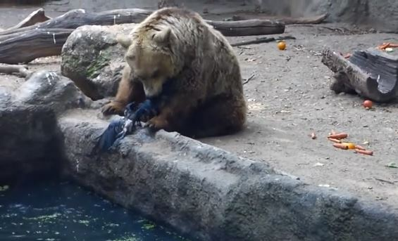 動物園で溺れたカラスを助けてあげる優しい熊さん