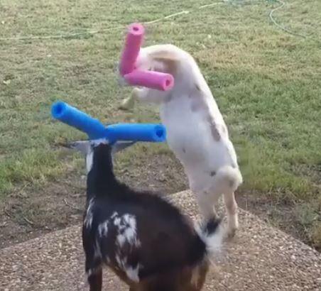 頭突きで喧嘩するヤギの角にプールヌードルをつけたらすごく癒される光景になった