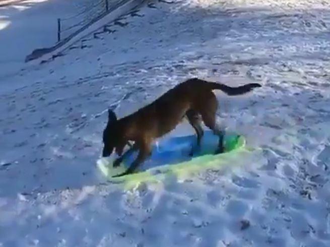 一人でソリ遊びしちゃう賢い犬