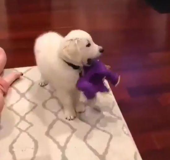 テレビに見入る犬