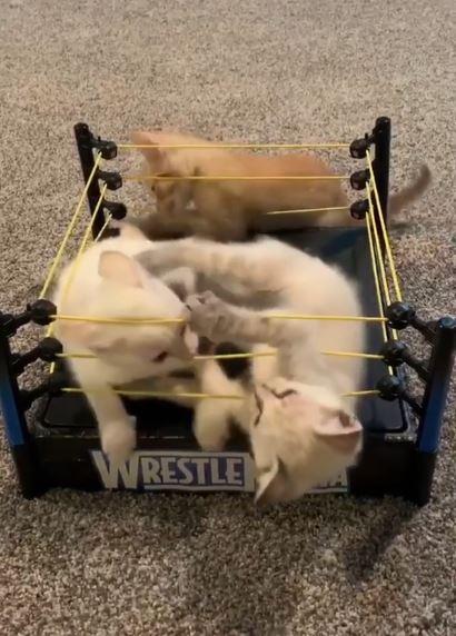 プロレスリングで戦う猫たちのキャットファイト