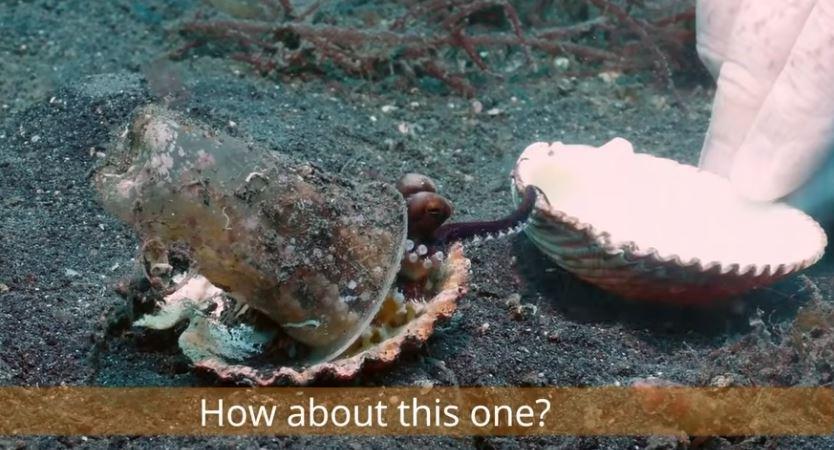 タコに新しい貝殻の家をすすめるダイバー