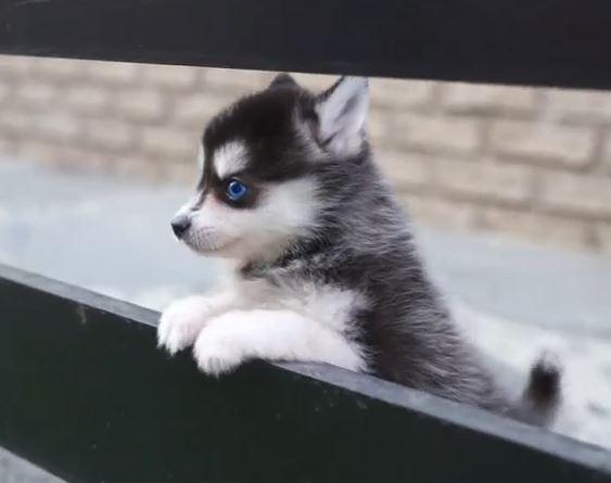 ポメラニアンとシベリアンハスキーのミックス犬ポンスキーが可愛い